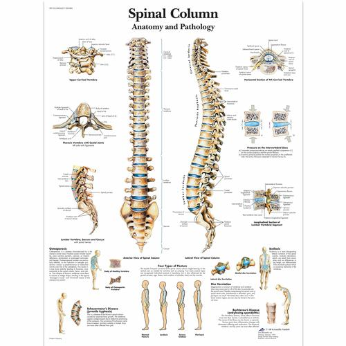 Spinal Column - Anatomy and Pathology, 1001480 [VR1152L], Csontrendszer