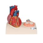 Life-Size Human Heart Model, 5 parts with Representation of Systole  - 3B Smart Anatomy, 1010006 [G01], Szív és érrendszeri modellek