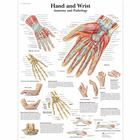 Hand and Wrist - Anatomy and Pathology, 1001484 [VR1171L], Csontrendszer