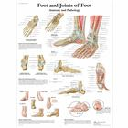 Foot and Joints of Foot - Anatomy and Pathology, 1001490 [VR1176L], Csontrendszer