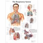 The Respiratory System,VR1322UU