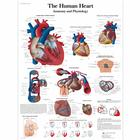 The Human Heart - Anatomy and Physiology,VR1334UU