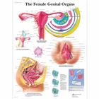 The Female Genital Organs,VR1532UU